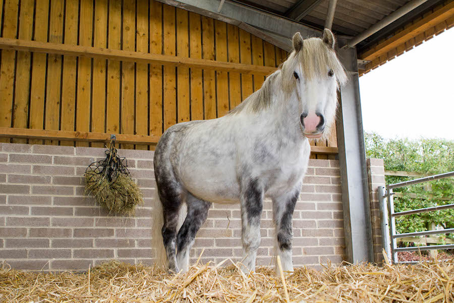 Grey pony in Stableyard at Glenda Spooner Farm with deep straw bed and haynet
