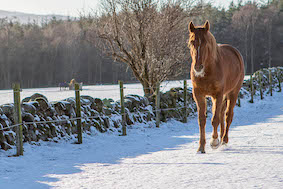 Chestnut horse walking along the edge of snowy field on a sunny day at Belwade Farm