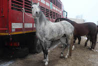 two horses tethered to a live animal export truck