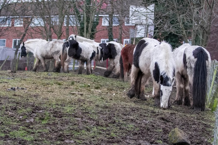 horses grazing on a common