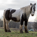 Piebald ponies fly-grazing on a littered muddy field with very little grass and poor fencing